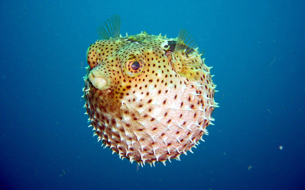 puffer-fish-wallpaper