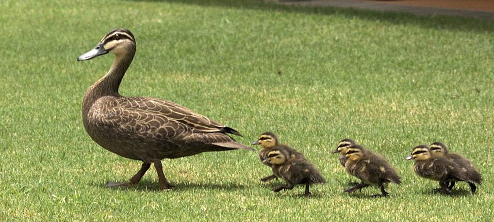 1024px-Duck_&_Ducklings_Morning_Walk